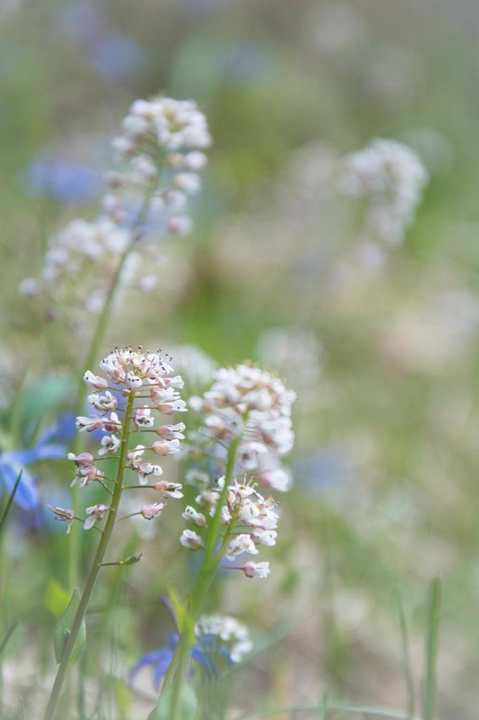 Late Spring Flowers Alpine Pennygrass Seija183 Flickr
