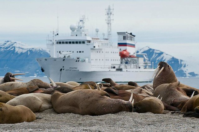 Walruses and a Quark Expeditions ship - courtesy of Phil Wickens
