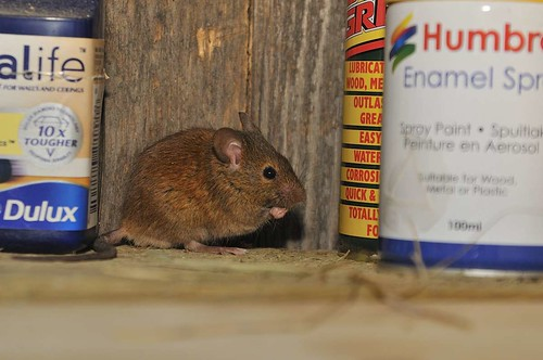 House Mouse | by markhows