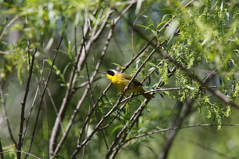 Common Yellowthroat (Geothlypis trichas) by David Lewis
