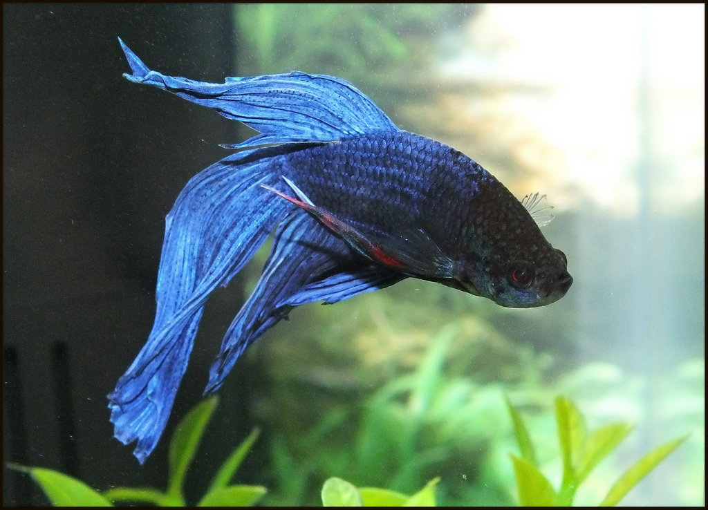 blue betta fish quebec canada feb 2013 not free to use