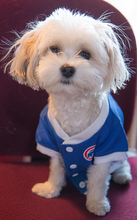 Pip is nervous. Will the Cubs pull it off? | by Laura Erickson