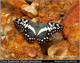 Papilio demodocus Sierra Leone