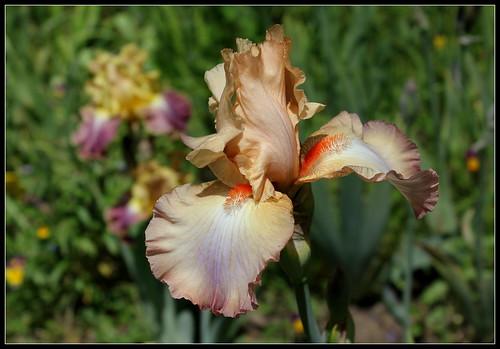 Iris semis 14-2 'Caracole' - R-L Vasquez-Poupin 27501286346_2d2f651e49