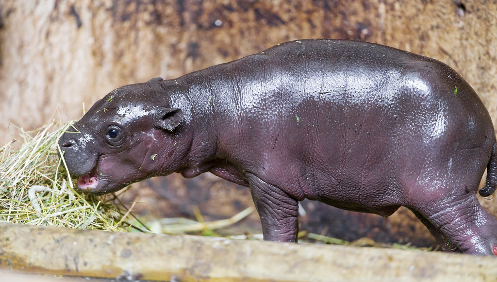 baby hippo images