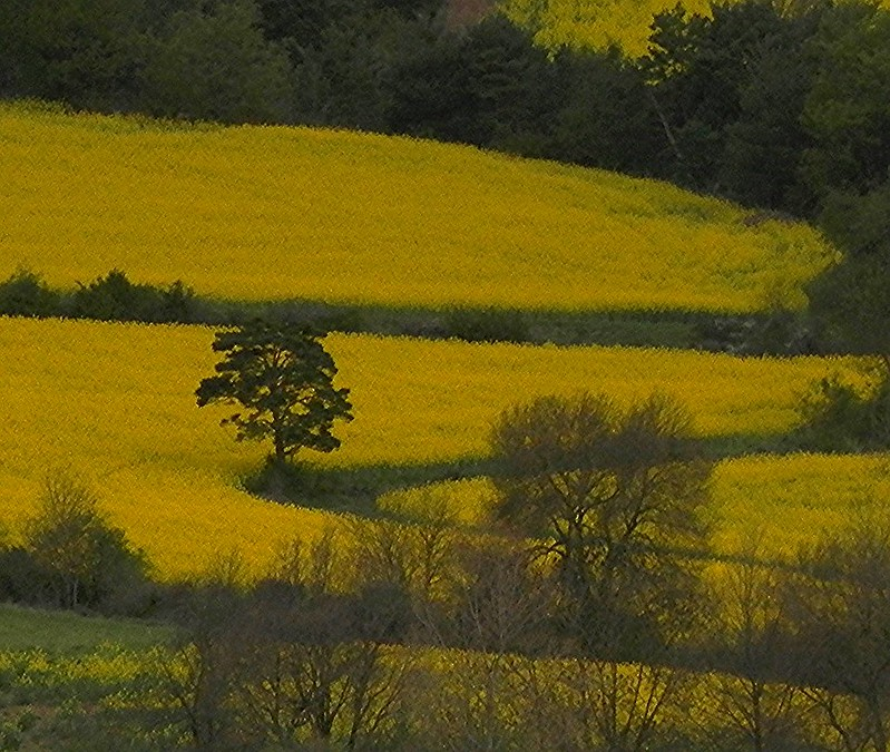 Yellow Fields of Spring