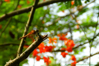 Dragonfly on Krishna Chura (Royal Poinciana or Flamboyant) - Shibpur Botanical Garden #Kolkata | by moon@footlooseforever.com
