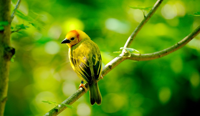 Taveta Golden Weaver_10