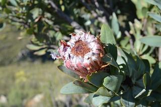 Protea sp.    プロテア 不明種