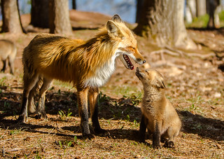 IMGL8977 Red Fox Kit and Mom | by Wallace River