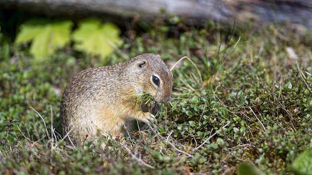 European ground squirrel in the vegetation