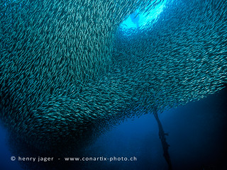 school of sardines | by henry jager