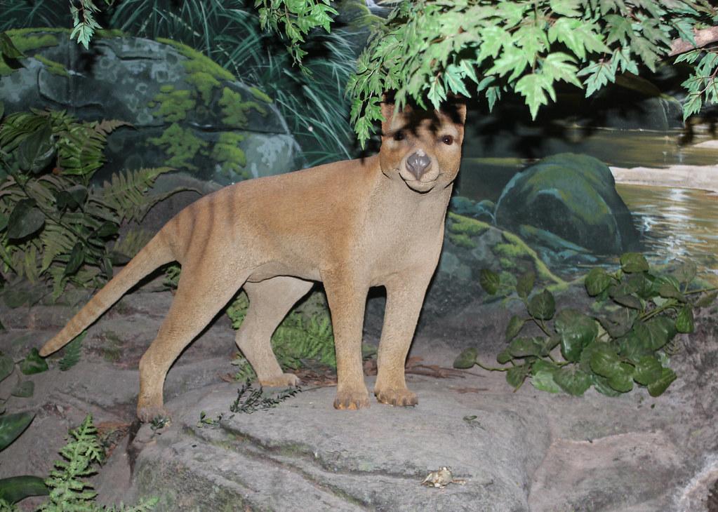 thylacine model of a thylacine species at the riversleigh flickr