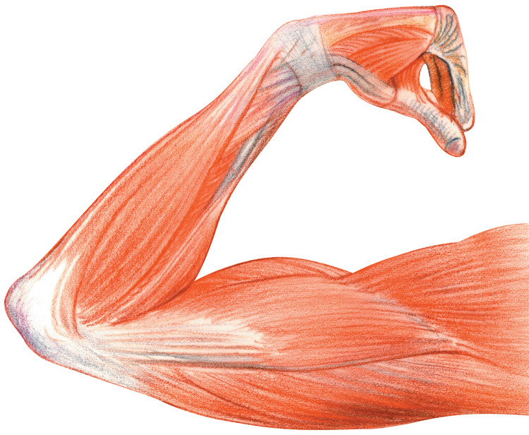 Anatomical Drawing Of An Arm This Anatomical Drawing Of An Flickr