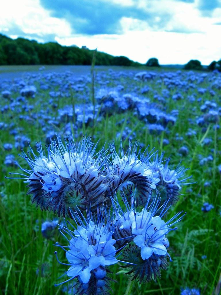 Blue Moon Flowers Keefy243 Flickr