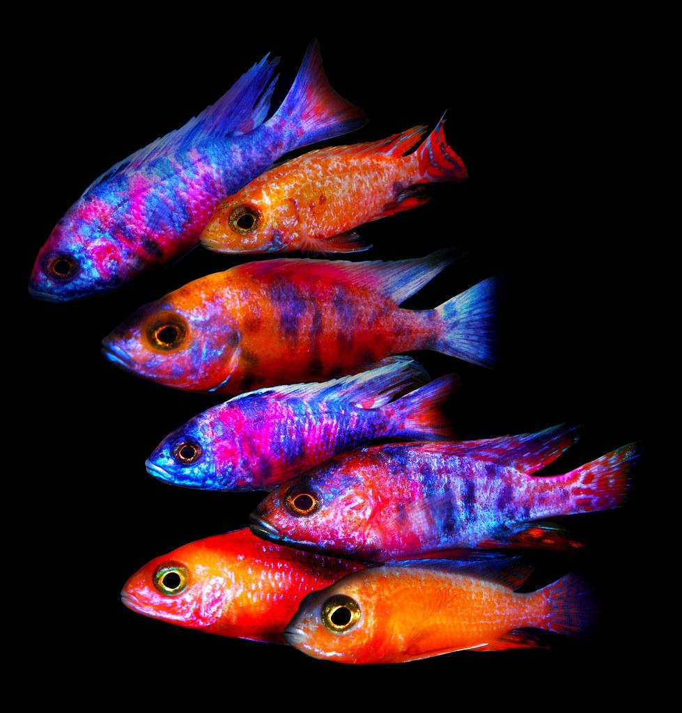 Aulonocara calico and Aulonocara fire fish | Andrej Jakubík | Flickr