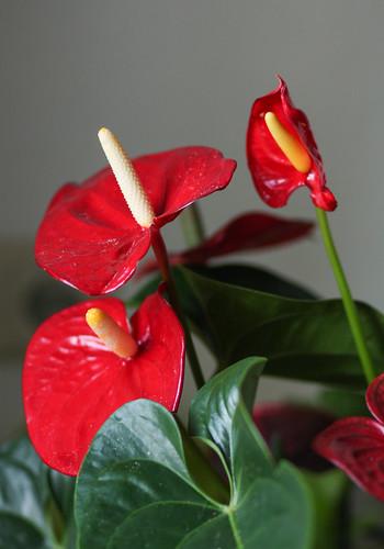 Flamingoblume (Anthurium andraeanum)