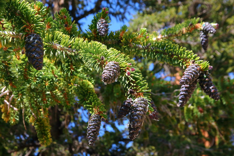 IMG_3221 Foxtail Pine Leaves and Cones