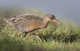 Ridgway's Rail | by Ken Phenicie Jr.
