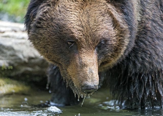 Closeup of a bear in the water