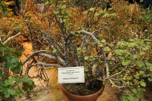 Pelargonium desertorum