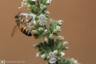 Bee feeding on Catnip | by T bias