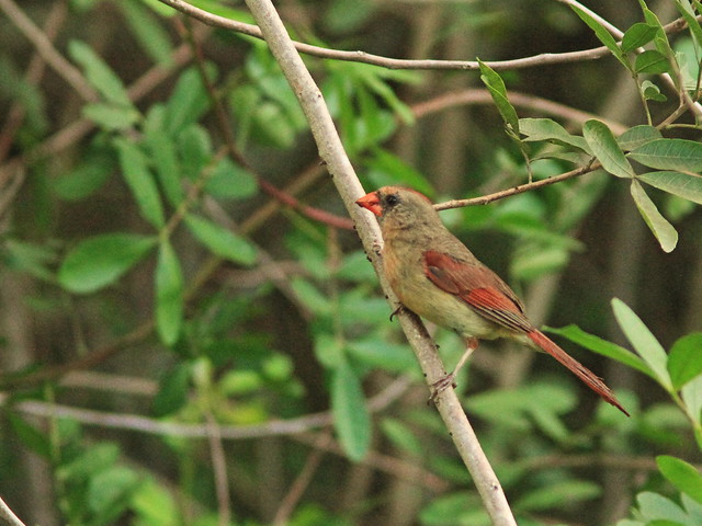 Northern Cardinal female 20160724