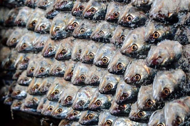 Stocked salty hilsa, Bangladesh. Mohammad Mahabubur Rahman, 2016.