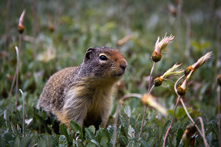 Ground squirrel in the grass | by gorbould