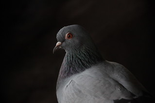 Photogenic Pigeon | by GurtyGurt