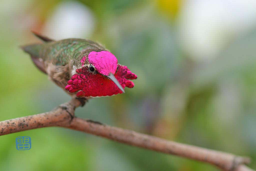 Anna's Hummingbird 111214