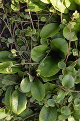 CHRYSOSPLENUM macrophyllum