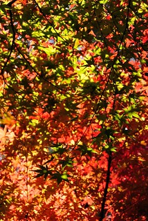 Autumn leaves of Shiratori-garden No.1. | by HIDE@Verdad