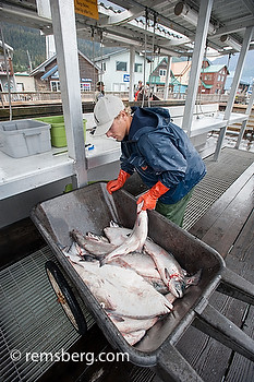 Fisherman weighing out his catch for the the day in Seward, Alaska | by Remsberg Photos