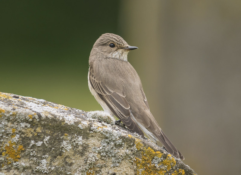 Spotted Flycatcher, 30th May 2016