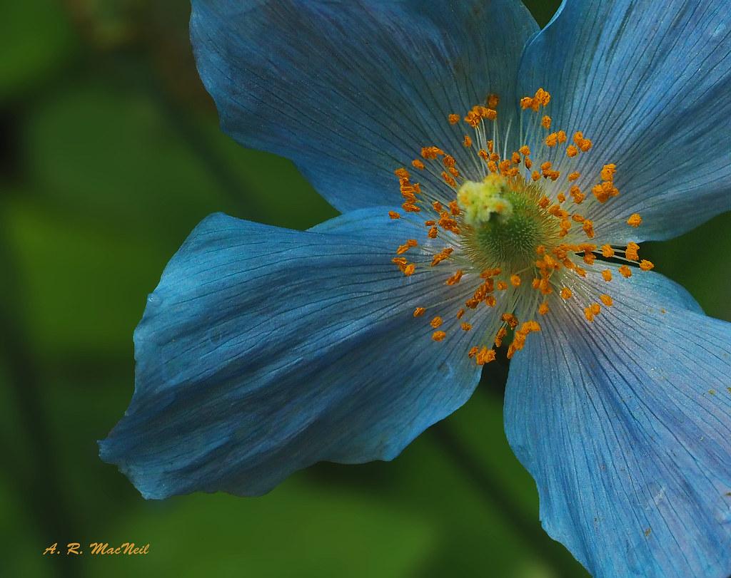 Blue Poppy 3 Vancouver British Columbia I Adore Blue Fl Flickr