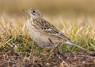 Sprague's Pipit. GMNH 7122. Marshallville Super Sod Farm, Macon County, 5 December 2010. Photo by Luke Theodorou | by Electronic Collection of Georgia Birds