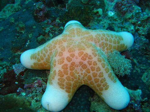 Sea Star (Choriaster granulatus), Sabang, Puerto Galera