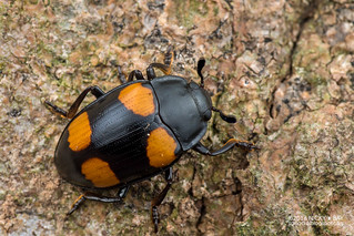 Pleasing fungus beetle (Aulacochilus sp.) - DSC_0438