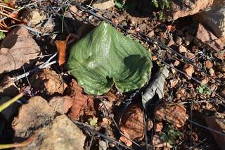 Eriospermum zeyheri  エリオスペルマム ゼイヘリ