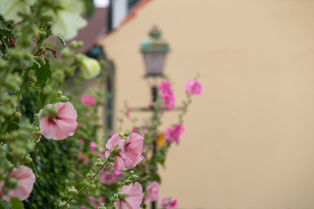 Hollyhocks and a street lamp