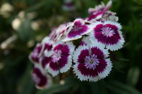 39 diabunda purple picot e 39 dianthus dianthus illet de po - Oeillets de poete ...
