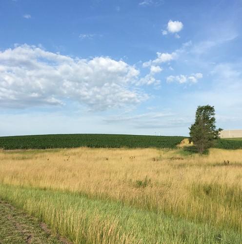 A cornfield!