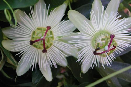 Passiflora x 'Avalanche'