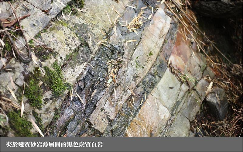 夾於變質砂岩薄層間的黑色炭質頁岩