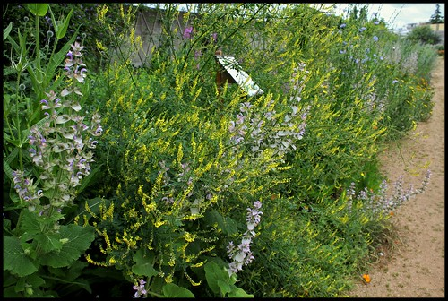Melilotus officinalis (1)