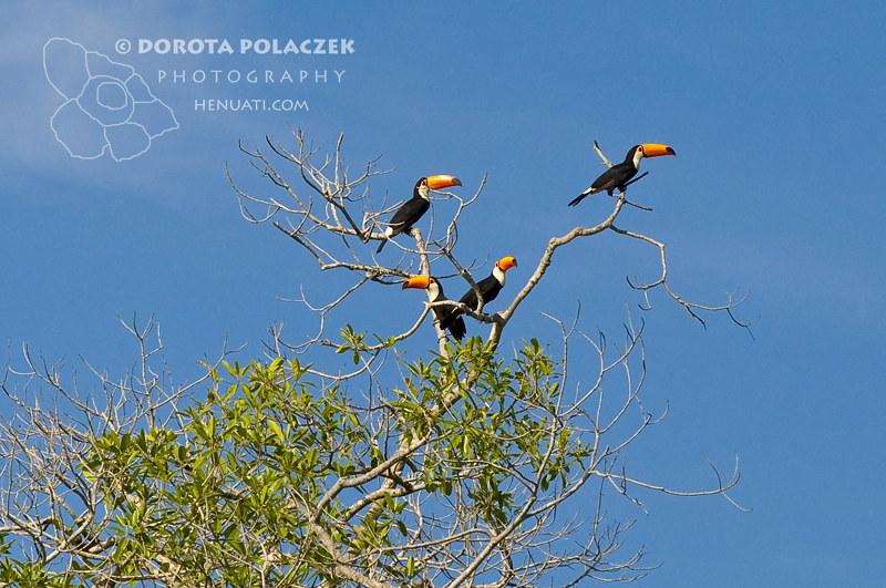 Toucans Toko (Ramphastos toco)