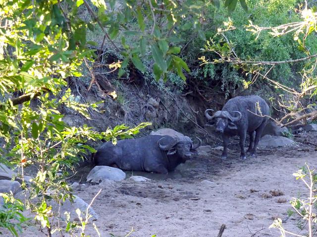 Lion Sands Safari Day 3- African Buffalos
