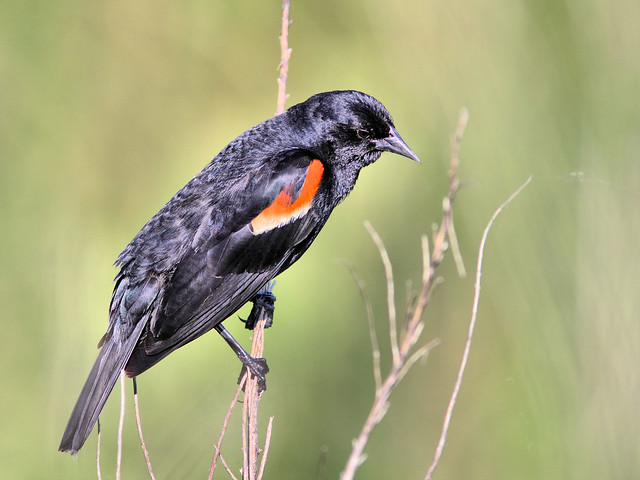 Red-winged Blackbird HDR 20160606