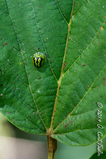 Green Tortoise Beetle | by umijin